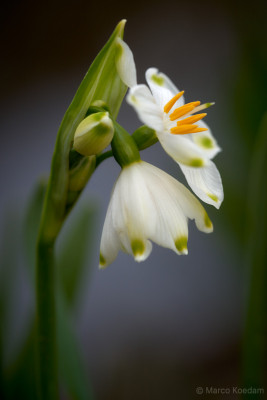 Leucojum vernum close-up macro-opname. Landgoed Oostbroek, De Bilt